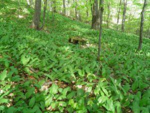 левурда - див чесън в гората